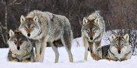 Makan Hati Serigala Mentah, Pemburu Ini Dikritik Banyak Orang