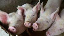 Virus Demam Babi Afrika Telah Menyebar ke 22 Provinsi di China