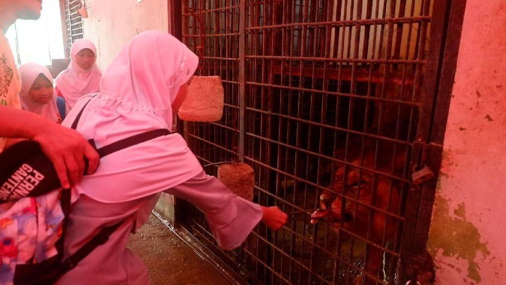 Foto: Nyuapin Makan Harimau di Banjarnegara, Berani?
