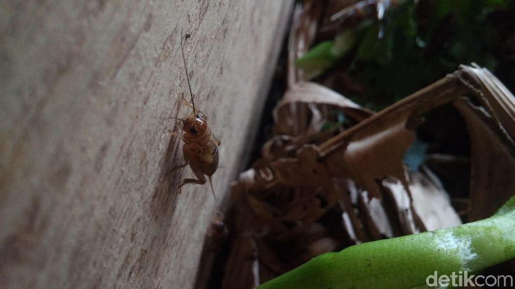 Jangkrik Menyerbu Masjidil Haram, Serangga Apa Sih Itu?