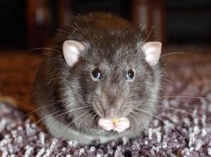 Sederhana Banget! Ini Cara Mengusir Tikus Paling Ampuh