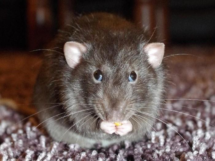 Sederhana Banget! Ini Cara Mengusir Tikus Paling Ampuh/Foto: Istimewa
