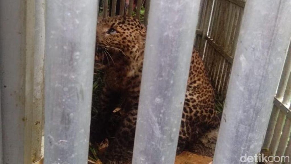 BKSDA Akan Lepasliarkan Macan Tutul Lereng Lawu