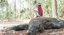 Lebih Rinci Mengenal Komodo, Legenda dan Kawasannya