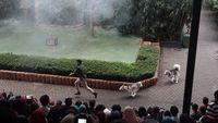 Aksi anjing collie saat melakukan misi penyelamatan.