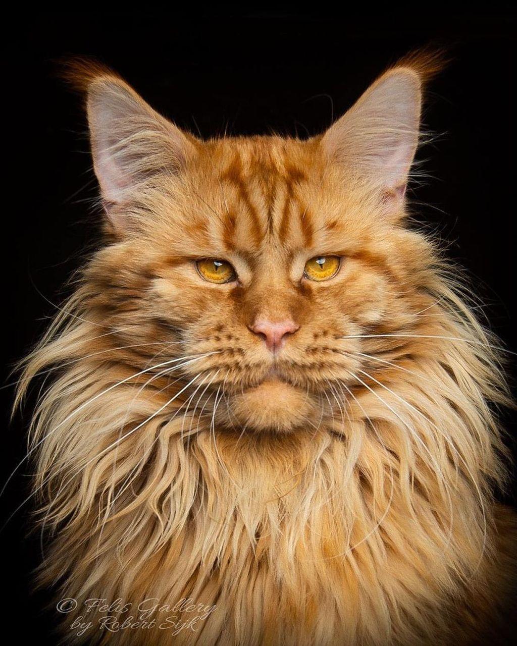 Kucing ini memiliki bentuk wajah yang kuat dengan bulu-bulu panjang yang lebat. (Foto: Robert Sijka)