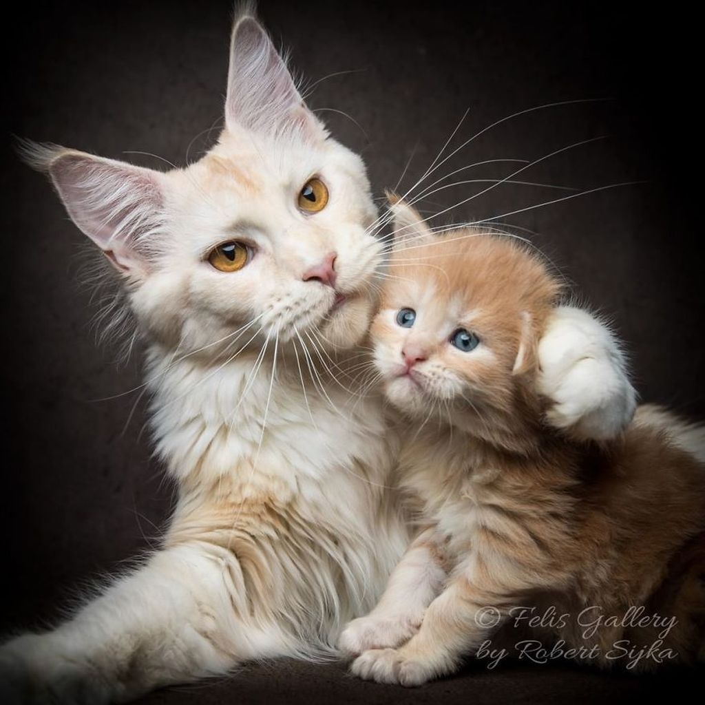 Jenis kucing Maine Coon sendiri merupakan salah satu ras kucing tertua dan alami yang berasal dari Maine, Amerika Serikat. (Foto: Robert Sijka)