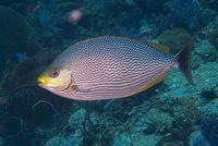 7 Jenis Ikan Laut Ini Paling Enak Dibakar Dengan Api Arang