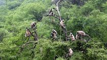 Duh! Kawanan Monyet Bawa Kabur Sampel Darah Pasien Corona