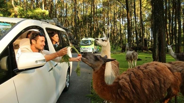 Pengunjung berinteraksi dengan satwa di Taman Safari Prigen (Instagram/Taman Safari Prigen)