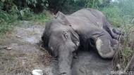 Penampakan Gajah yang Ditemukan Membusuk dan Gading Hilang