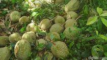 Liburan Akhir Tahun, Saatnya Berburu Durian Khas Sumatera Selatan