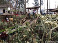 Uniknya Budidaya Bunga Edelweis di Lereng Gunung Bromo