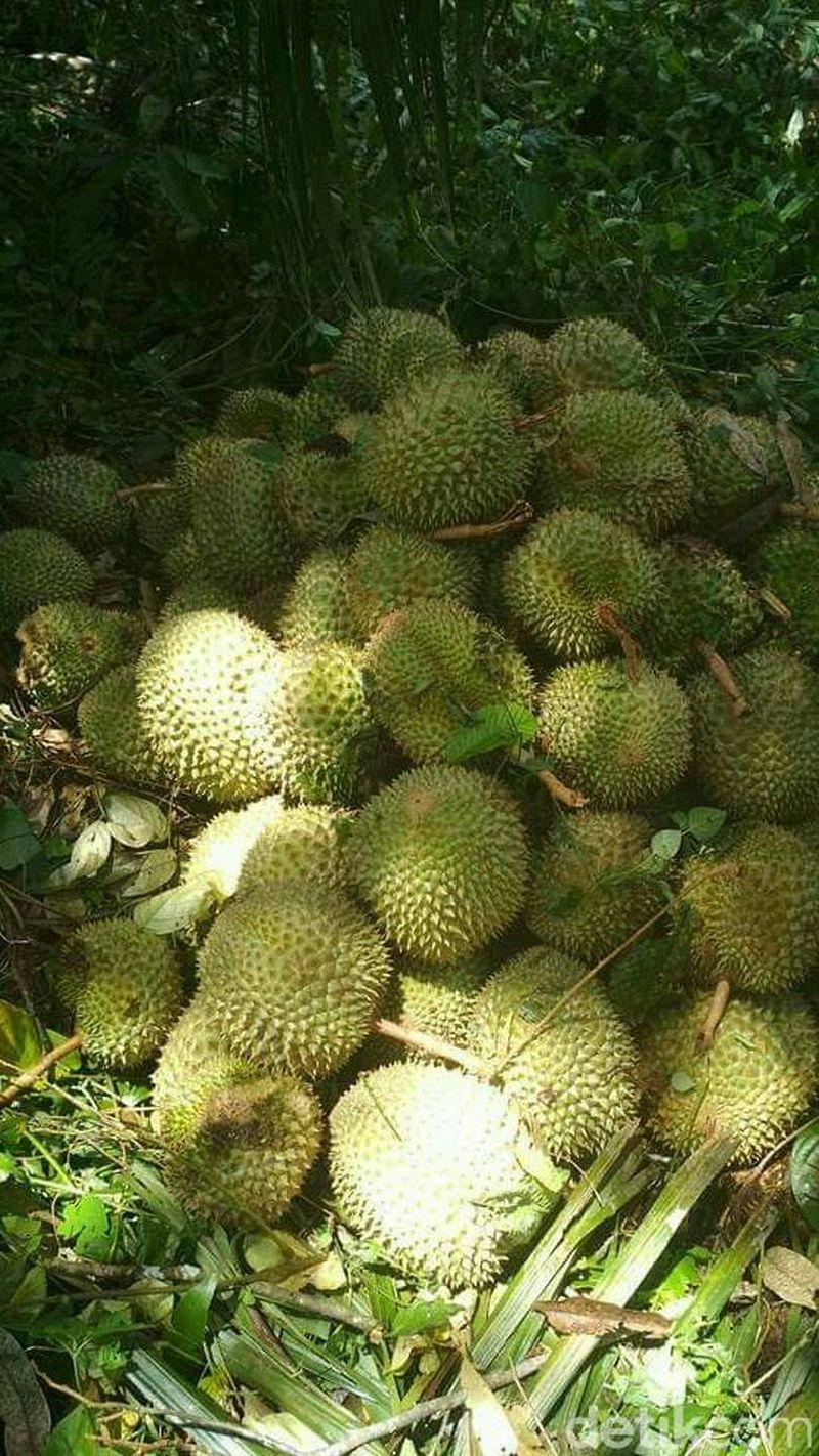 Kata salah seorang petani, durian Komering mulai musim panen dari awal Desember lalu. Bahkan diprediksi, puncak panen akan terjadi pada awal Januari mendatang (Raja Adil Siregar/detikTravel)