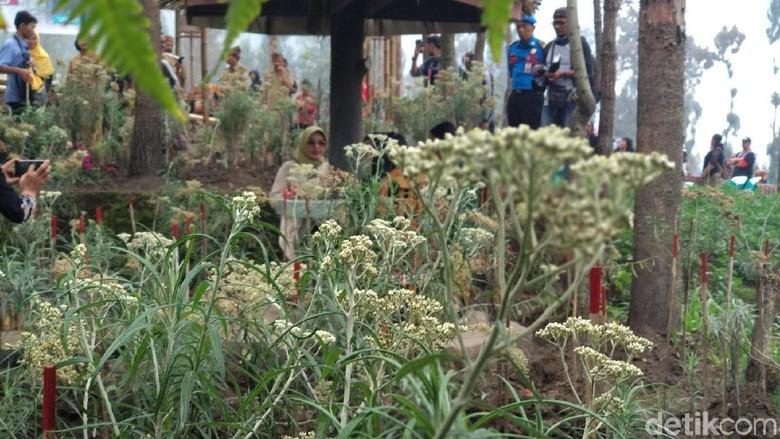 Area budidaya edelweis di Probolinggo (M Rofiq/detikTravel)