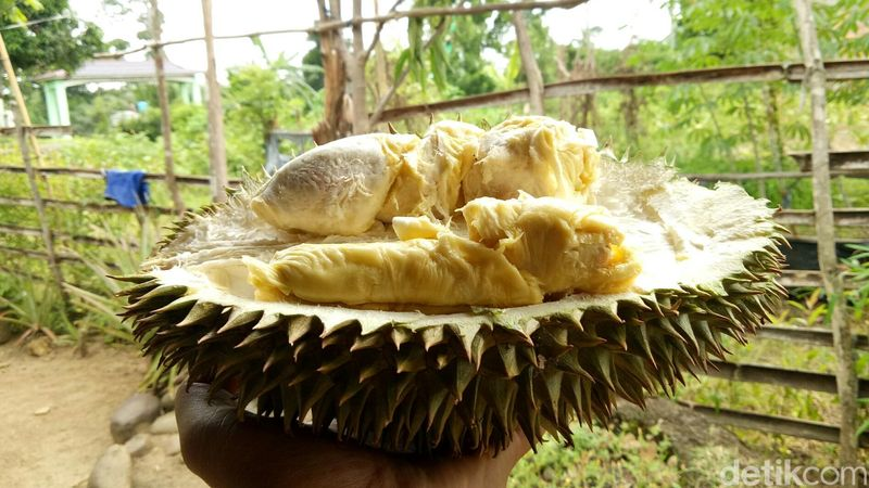 Ogan Komering Ulu (OKU) adalah kabupaten penghasil buah duku di Sumatera Selatan. Tapi di sana sekarang sedang musim panen buah durian juga (Raja Adil Siregar/detikTravel)