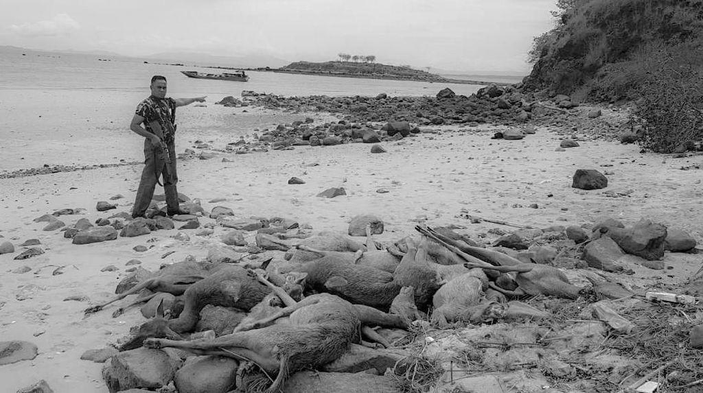 Kronologi Penangkapan Pemburu Rusa di Pulau Komodo