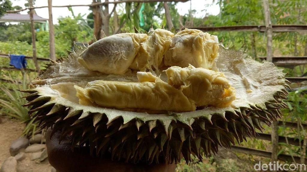 Mau Makan Durian Gratis Sepuasnya? Datang Saja Besok ke Lebak