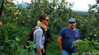 Tak cuma wisatawan lokal, wisman juga menggemari kegiatan ini. Kapan lagi bisa makan apel sepuasnya langsung di kebunnya sambil disuguhi pemandangan yang asri seperti ini (Muhajir Arifin/detikTravel)