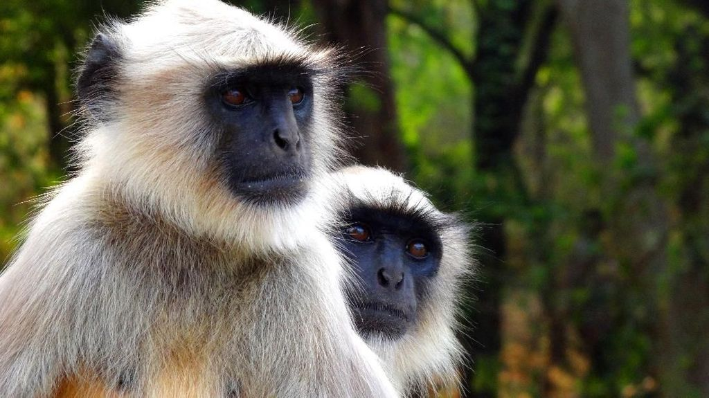 6 Pria Ini Ditahan Polisi Karena Menyantap Monyet Langka di Vietnam