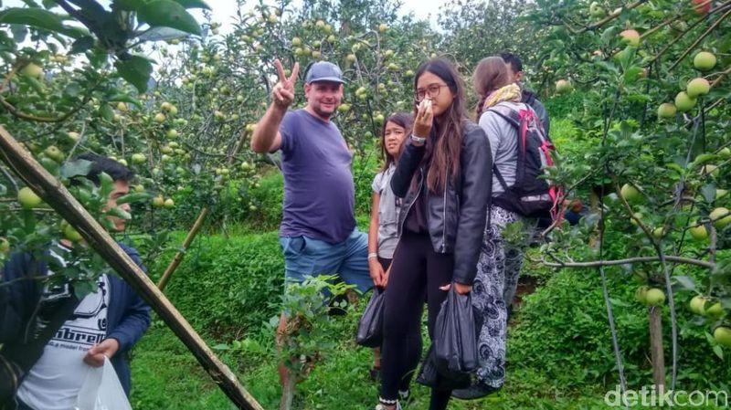 Inilah kegiatan asyik yang bisa traveler lakukan di Desa Wisata Kayukebek, Pasuruan. Kamu bisa berwisata memetik dan makan apel sepuasnya. Ssst, turis bule juga suka lho! (Muhajir Arifin/detikTravel)