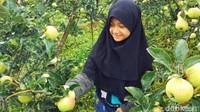 Untuk bisa makan apel sepuasnya, traveler cukup membayar Rp 200 ribu untuk paket 10 orang. Dengan harga segitu traveler sudah bisa makan apel sampai kenyang. Murah bukan? (Muhajir Arifin/detikTravel)