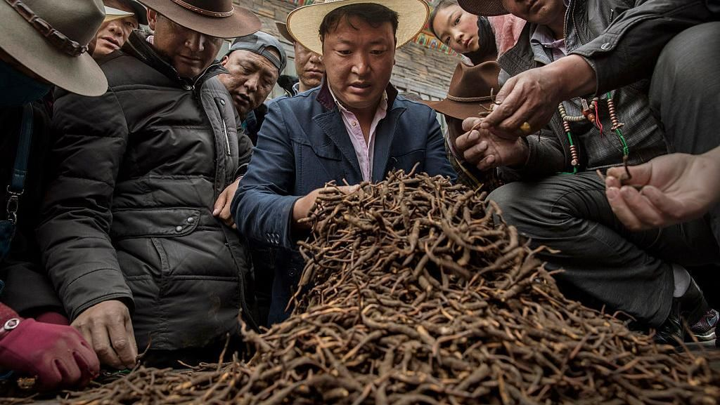 Potret Kehidupan Para Pencari Parasit Obat Kuat di Pegunungan Himalaya