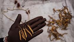 Parasit Ophiocordyceps sinensis hanya tumbuh di alam dan punya harga jual yang tinggi. Per ponnya (453,59 gram) dijual sekitar Rp 722 juta.