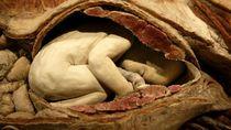 Pameran Ini Memajang Bayi Manusia Asli Ketika Masih dalam Kandungan