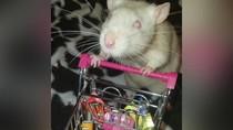 Gemas! Tikus Peliharaan Ini Disulap Jadi Foodies yang Hobi Makan