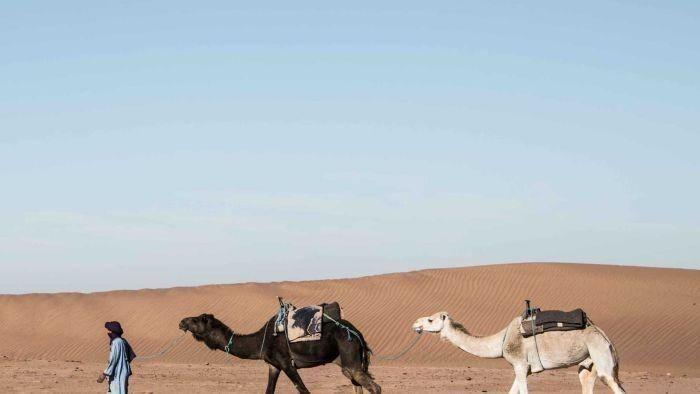 Uniknya Kontes Kecantikan Unta di Arab Saudi