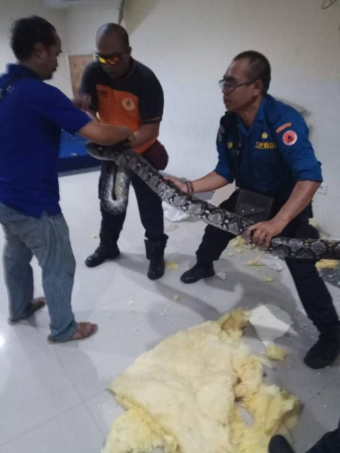 Foto: Sanca 4 meter dievakuasi tim BPBD Kota Denpasar. Dok. BPBD Kota Denpasar
