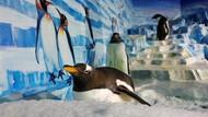 Puluhan Penguin di Norwegia Divaksin, Segera Akhiri Isolasi