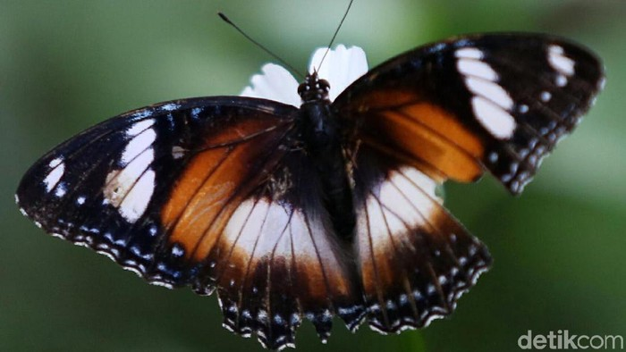 Ilustrasi kupu-kupu. Foto: Agung Pambudhy