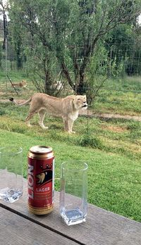 Menginap di Hotel yang Dikelilingi 77 Ekor Singa, Berani?