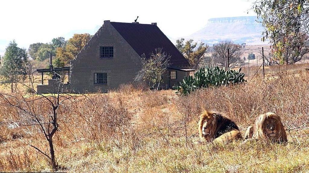 Foto: Tidur di Hotel yang Dikelilingi 77 Ekor Singa