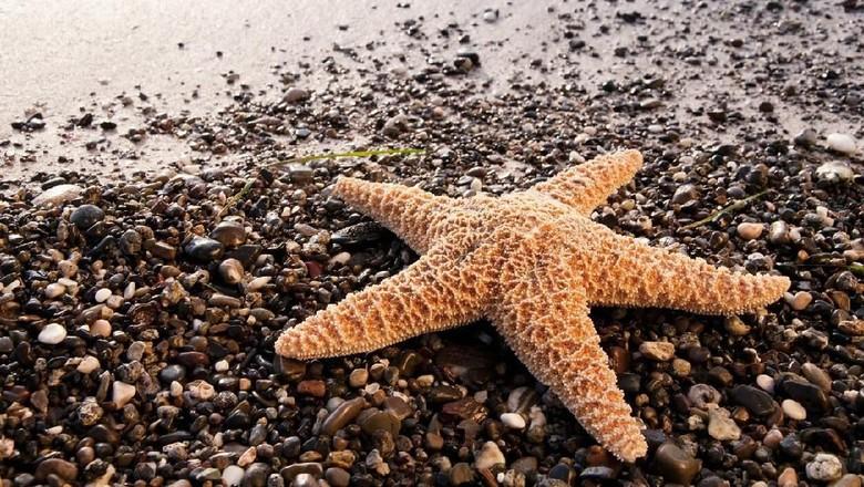 makan bintang laut