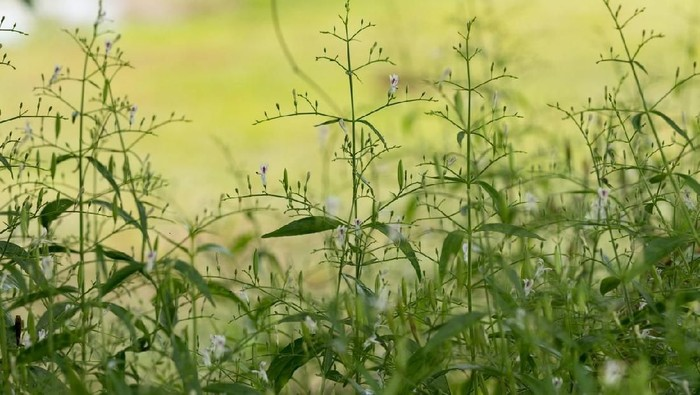 Sambiloto sejak lama dikenal sebagai tanaman obat (Foto: iStock)