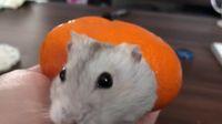Menggemaskan! Hamster Ini 'Nyempil' Didalam Kulit Jeruk Mandarin