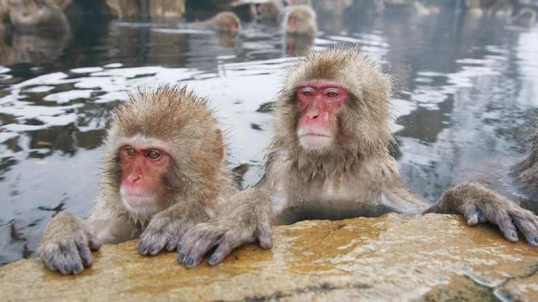Monyet salju Jepang di Prefektur Nagano (jigokudani-yaenkoen.co.jp)