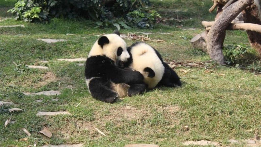 Hai Traveler, Panda-panda Lucu Ini Menunggumu di Macau