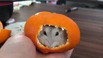 Menggemaskan! Hamster Ini Nyempil Didalam Kulit Jeruk Mandarin