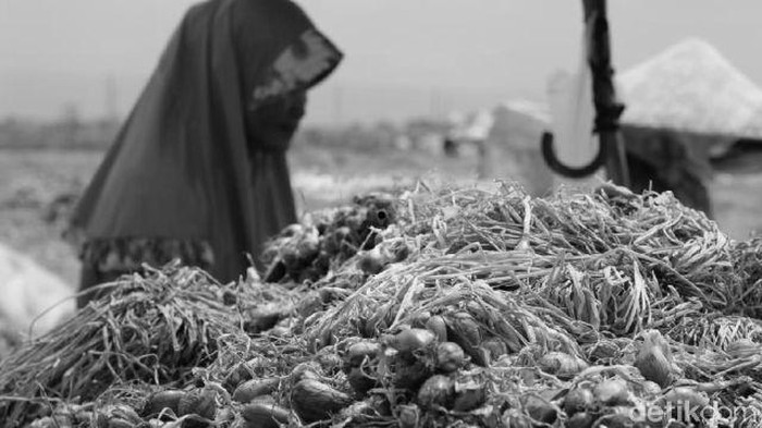Kalau ilusinya terasa, kamu bisa melihat petani yang sedang memanen bawang merah. (Foto: detikHealth)