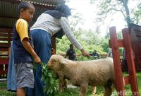 Inilah Domba Batur, yang Populasinya Terus Menurun