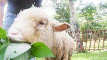 Foto: Penampakan Domba Batur yang Populasinya Terus Turun