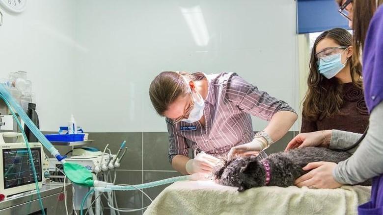 Dokter Hewan di Australia Alami Stres Lebih Tinggi Dibanding Profesi Lain