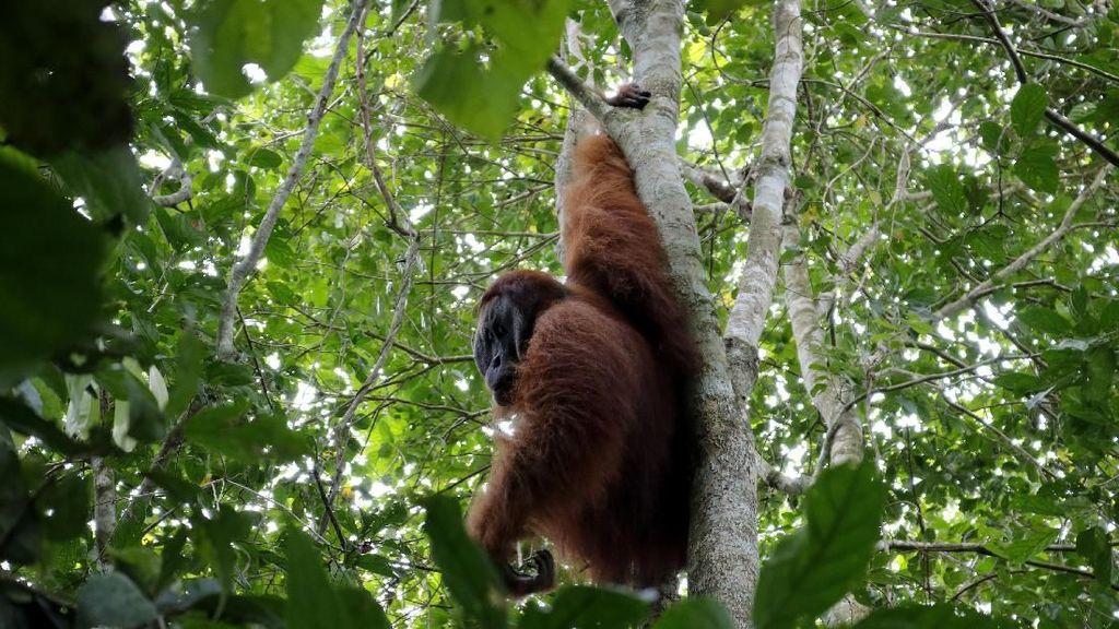 Orangutan Bukan Musuh Kita