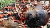 Potret Evakuasi Orangutan yang Terjebak di Perkebunan Warga Aceh
