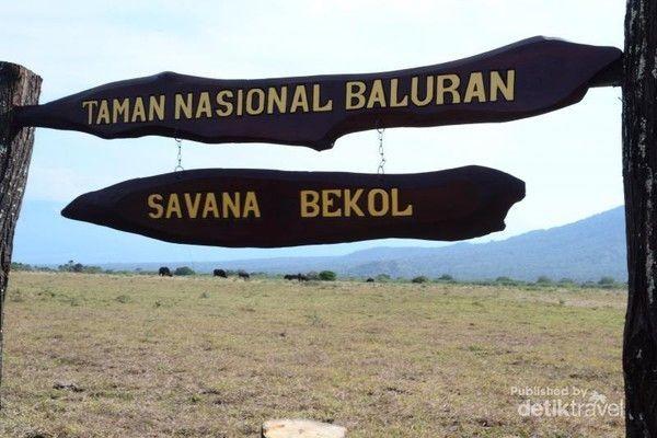 Taman Nasional Baluran punya Savana Bekol seluas 300 hektare. Luasan ini menjadikannya savana terluas di Jawa. (maruhiru/dTraveler)
