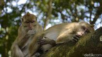 Pangandaran Punya Ratu Monyet Tercantik dan Suka Ngaca